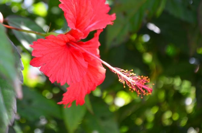 Hibiscus, Jamta, Nahan, H.P.