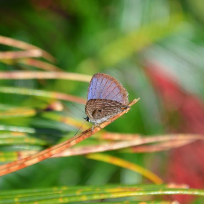 Butter Fly, Jamta, Nahan, H.P.
