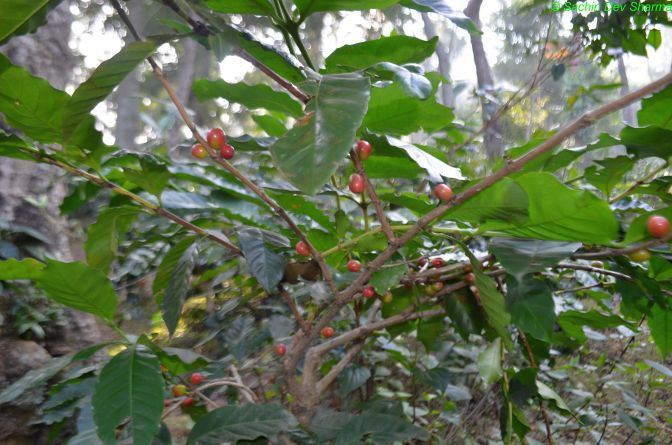 Ananthgiri Coffee Plantation (3)